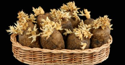 じゃがいもの芽の毒以外にも、食中毒を引き起こす部分がある